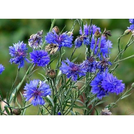 Nevädza poľná- kvet 15g