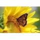 Slnečnica kvet sušený 15g