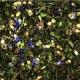 JR Farm Skorocel-nevädza kvet 100 g